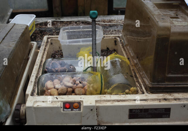 Pre germinating large seeds step 7 seeds in propagator at 15 degrees centigrade - Stock Image