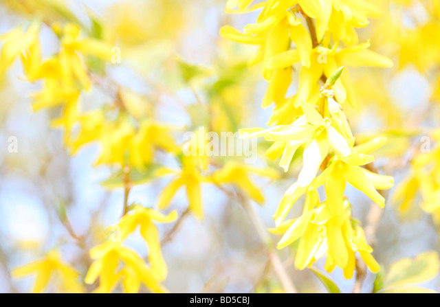 charming yellow forsythia stems in a contemporary style fine art photography Jane Ann Butler Photography JABP525 - Stock Image