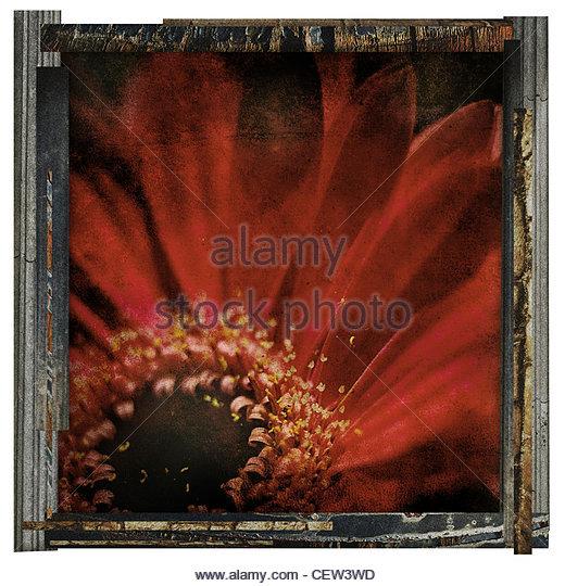 framed red flower - Stock Image