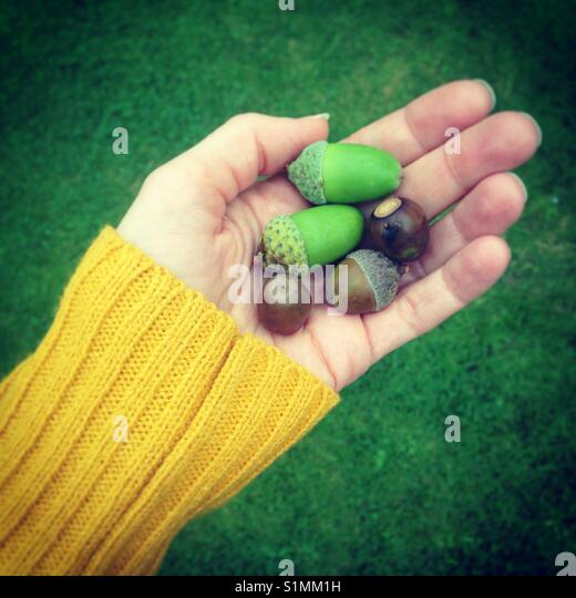 Handful of Acorns - Stock Image