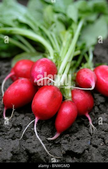 Fresh Radishes - Stock Image