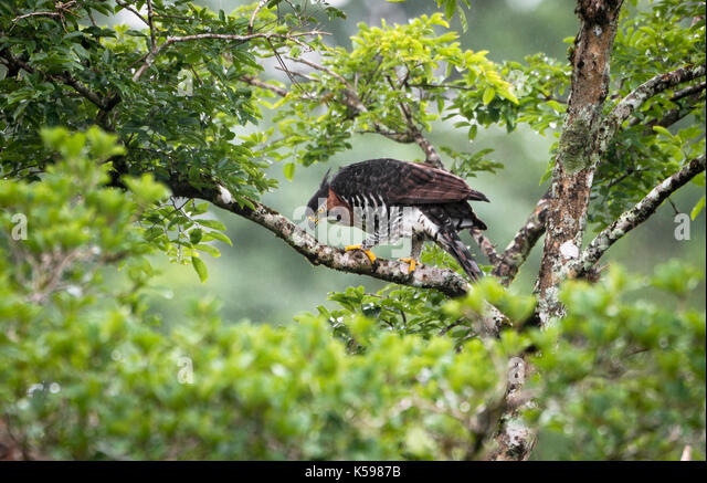 Ornate Hawk-Eagle (Spizaetus ornatus) from the Atlantic Rainforest of SE Brazil. - Stock Image
