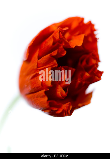 Common name: California poppy Latin Name: Eschscholzia californica - Stock Image