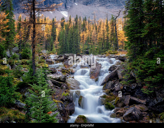 Stream flows from the Opabin Plateau past fall colored larch trees. Yoho National Park, Opabin Plateau, British - Stock-Bilder