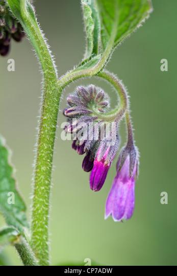 Symphytum officinale, Comfrey, Purple, Green. - Stock-Bilder