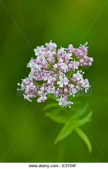Common Valerian Valeriana officinalis - Stock Image
