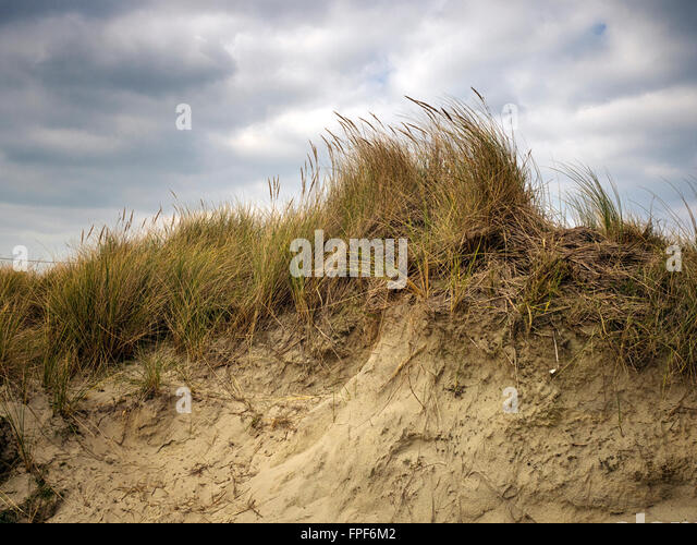 Grass bending in the wind on top of a sand dune at East Head, West Wittering, West Sussex - Stock Image