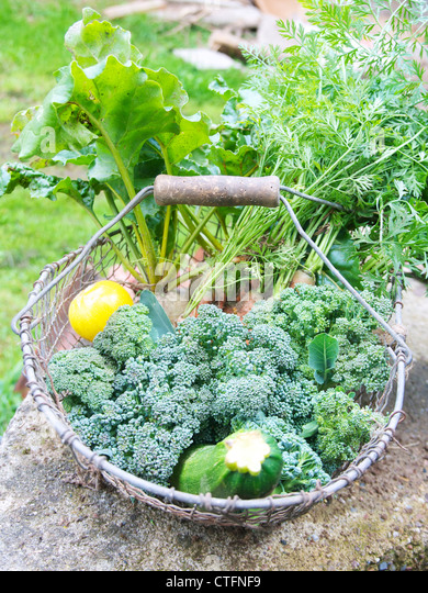 Basket with carrots, zucchini, beet root and broccoli after being harvested in a vegetable garden. - Stock Image