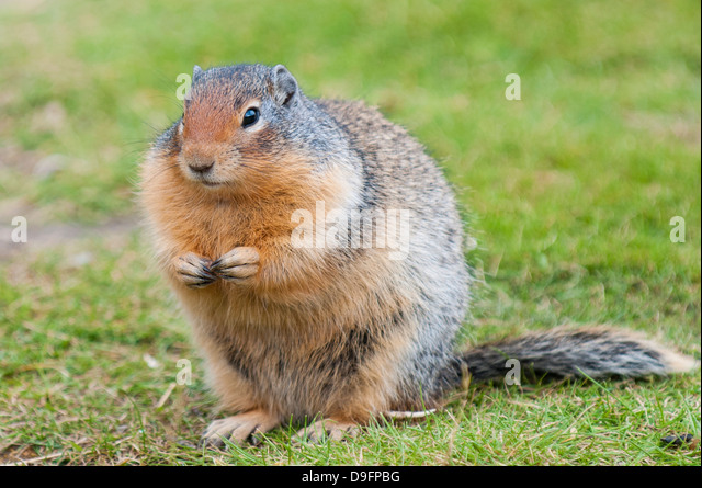 Columbian ground squirrel (Spermophilus columbianus), Barkersville, British Columbia, Canada - Stock Image