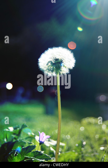 nature,sunlight,environment protection,dandelion - Stock Image