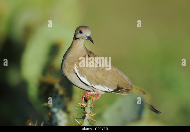White-winged Dove (Zenaida asiatica), adult perched on Texas Prickly Pear Cacti (Opuntia lindheimeri), Lake Corpus - Stock Image