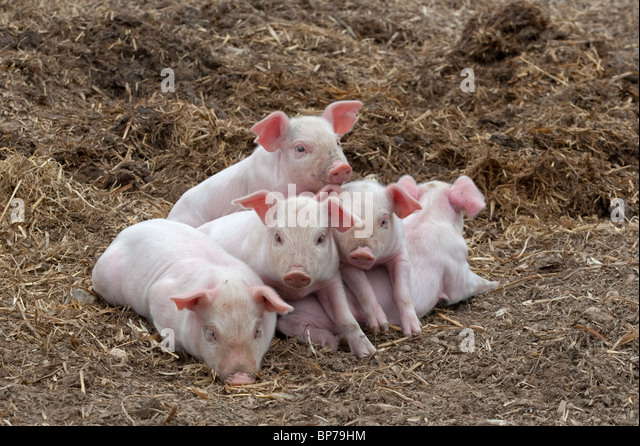 Piglets sleeping in a heap for warmth - Stock Image