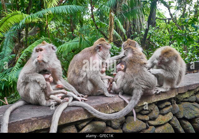 Group of macaques at Secred Monkey Forest Sanctuary, Bali, Indonesia - Stock Image