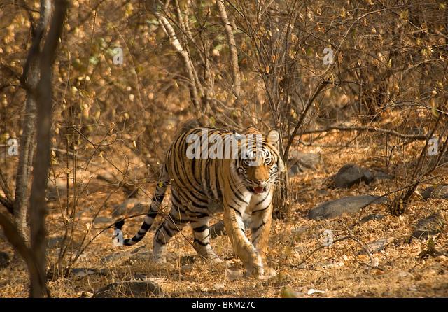 Male Bengal tiger, Panthera tigris, walking through scrub, Ranthambore N P, India - Stock-Bilder