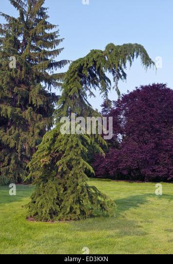 Cedar of Lebanon Tree - Cedrus Libani 'Beacon Hill' - Stock Image