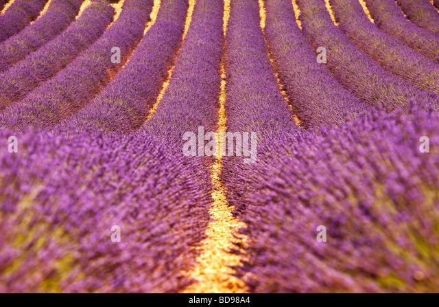 Lavender Field near Valensole, Provence France - Stock Image