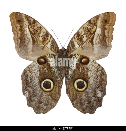 owl butterfly - Stock Image