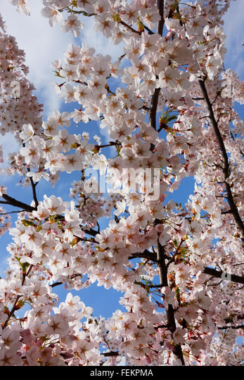 Blossoming pink asian cherry branches and spring sky closeup - Stock-Bilder