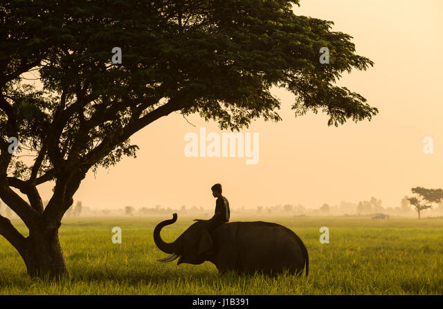 Elephant mahout thailand life traditional of asia culture - Stock Image