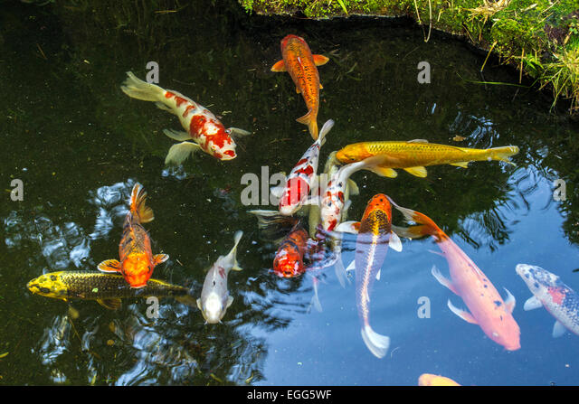Fish pond goldfish carp stock photos fish pond goldfish for Fish eggs in pond