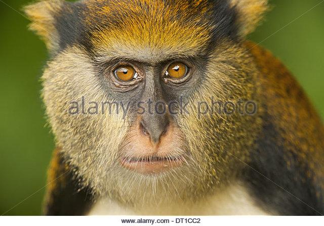 Boabeng-Fiema Monkey Sanctuary Ghana Mona monkey Cercopithecus mona Boabeng-Fiema - Stock Image