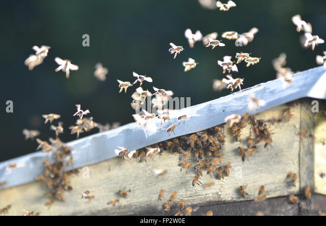swarm of bees flying in apiary - Stock Image