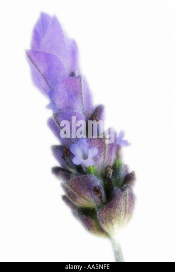 how to cut lavender plants