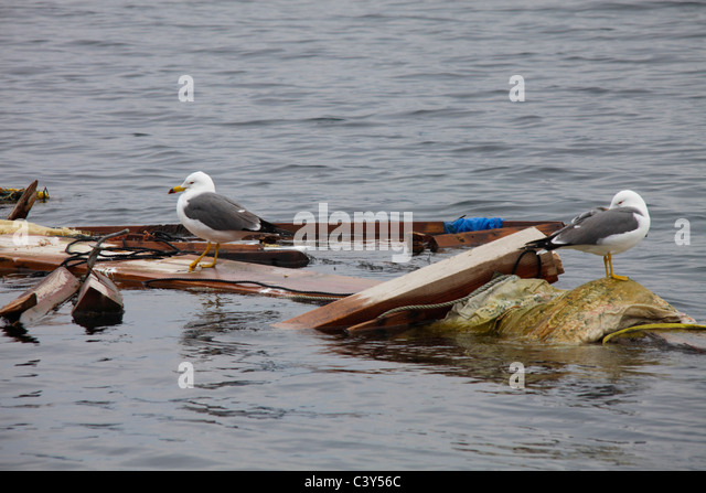 Sea birds on floating wreckage Otsuchi-cho town Iwate Japan - Stock Image