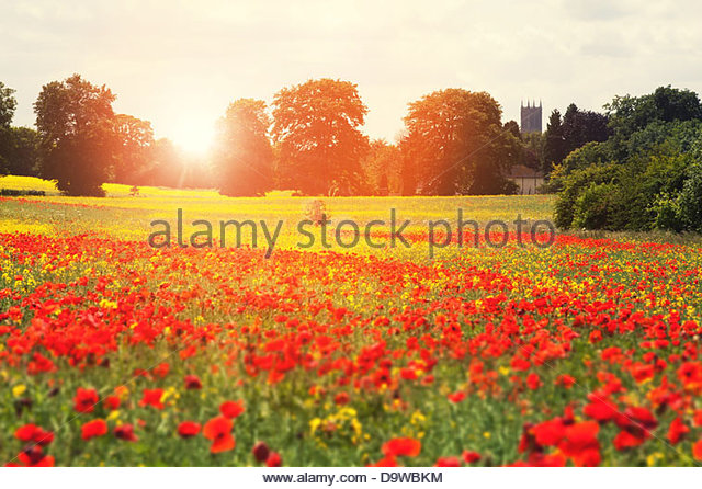 summer poppies - Stock Image