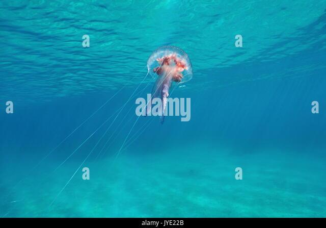 mauve stinger jellyfish australia - photo #32