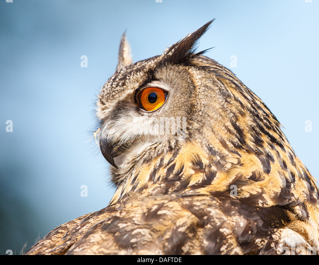 Close-up of a Eurasian Eagle- owl (Bubo bubo) showing head turned through 180 degrees against a blue sky and cloud - Stock-Bilder