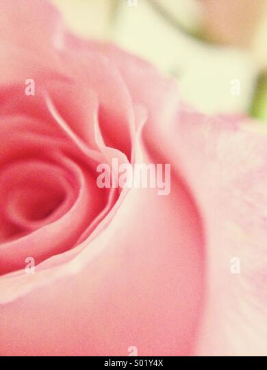 Dreamy rose - Stock Image