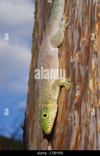 Standing's Day Gecko (Phelsuma standingi) in the spiny cactus forest of Reniala Nature Reserve, Ifaty, western - Stock-Bilder