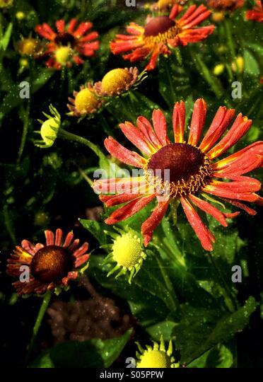 Rudbeckia flowers - Stock Image