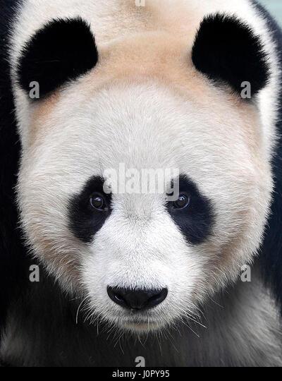 Giant panda Yang Guang pictured in his enclosure at Edinburgh Zoo, Scotland. - Stock Image