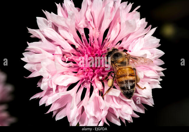 Cornflower  Bachelor's Button with honey bee - Stock Image