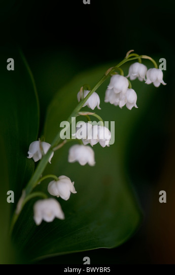 Lily of the valley - Convallaria majalis - Stock Image