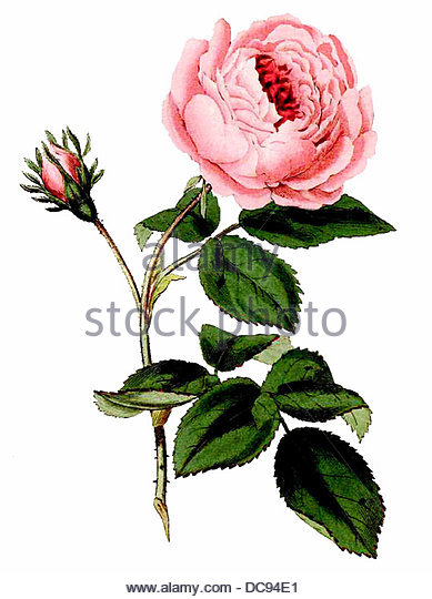 Rose centifolia - Stock-Bilder