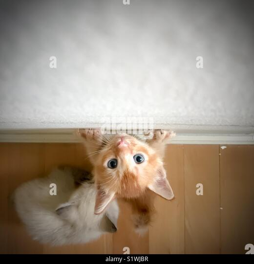 Kitten trying to climb up wall seeking for attention - Stock Image