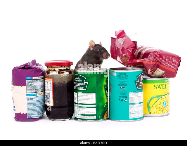 A cheeky brown rat in amongst some groceries, a kitchen rat - Stock Image