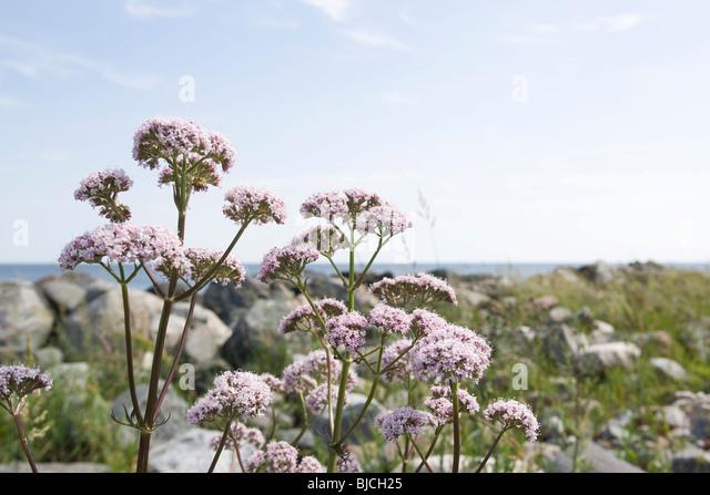 Valerian (Valeriana officinalis) - Stock Image