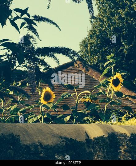 Sunflower Roof - Stock Image