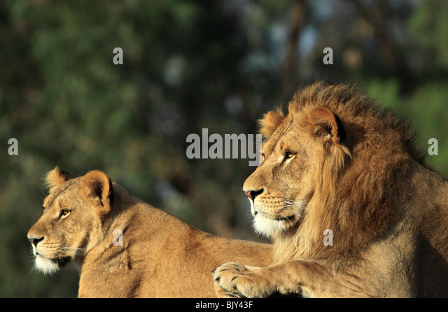 male and female african lion - Stock Image