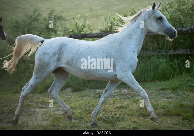 Great shoot of spotted white steed - Stock Image