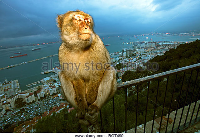 Gibraltar Ape (Macaca sylvanus), Rock of Gibraltar, UK - Stock Image