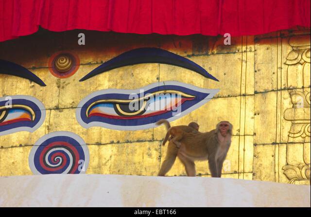 rhesus monkey, rhesus macacque (Macaca mulatta), female with young animal in the Swayambhunath, Monkey Temple, stupa, - Stock Image