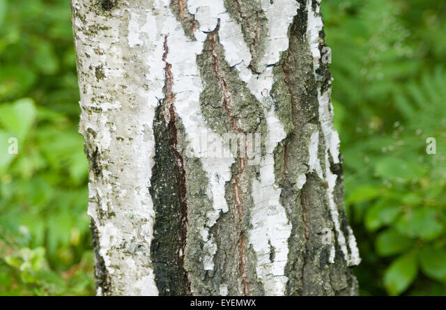 Birch bark tree stock photos