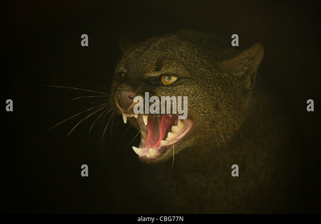 FEROCIOUS ATTITUDE OF AN PUMA JAGUARUNDI JAGUARUNDI HEAD CLOSE UP - Stock Image