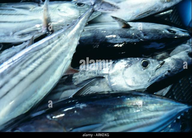 Fresh tuna - Stock Image
