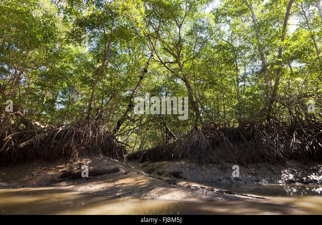 Mangrove forest beside Rio Grande, Pacific coast, Cocle province, Republic of Panama. - Stock-Bilder